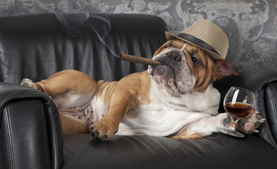 Englische Bulldogge liegt auf einer Couch, raucht Zigarre und trinkt eine Spirituose