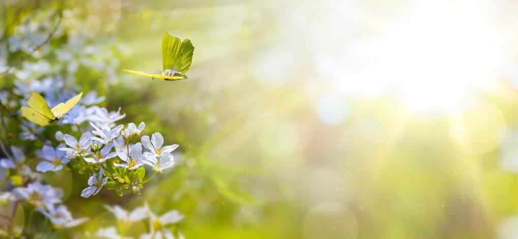 Frühlings-Stimmungsbild mit Gelben Schmetterlingen auf Blumen