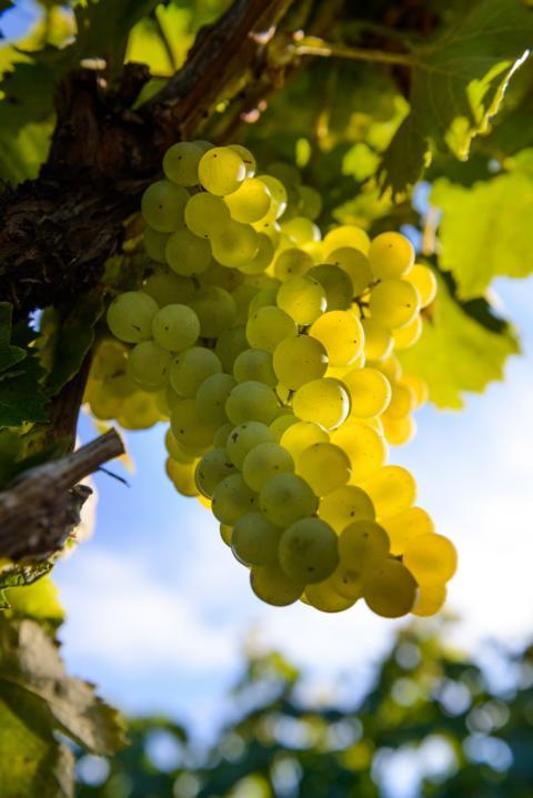 G'Vine + Grapes