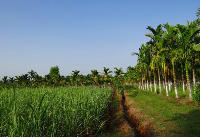 Zuckerplantage