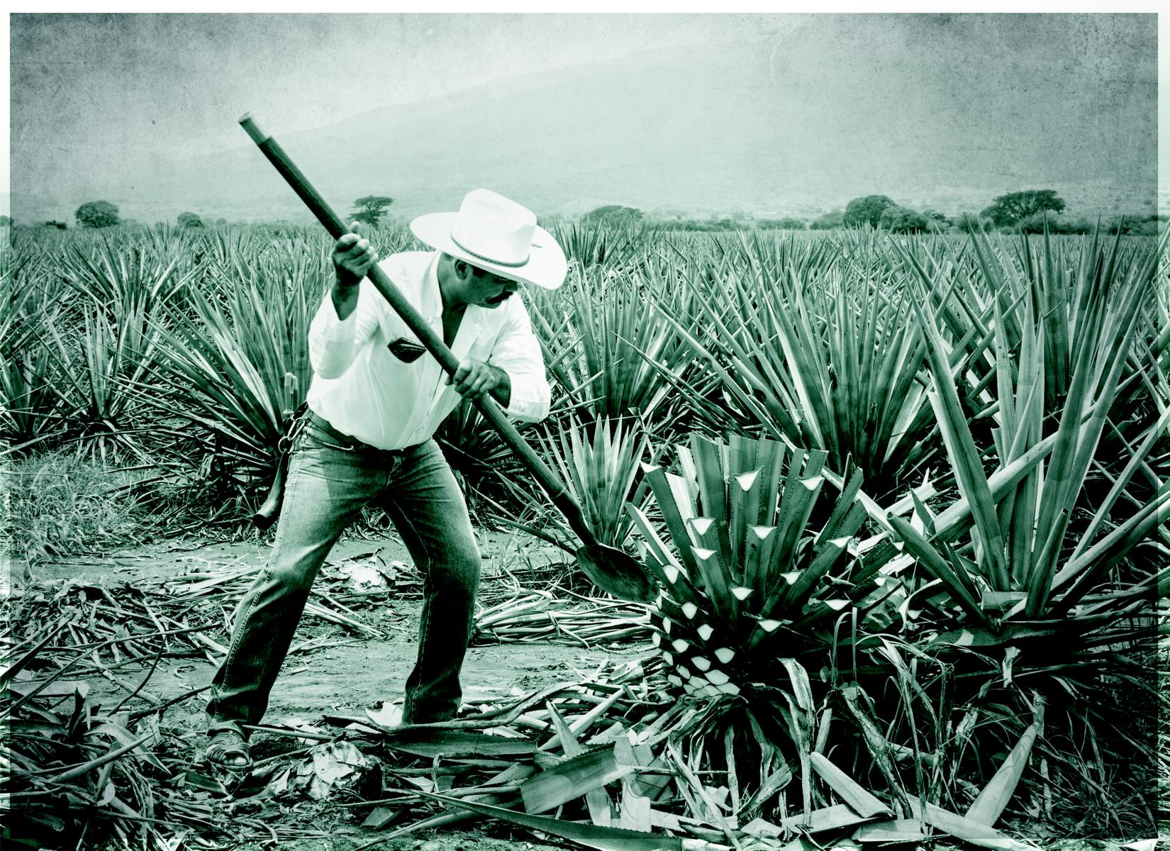 Jimador, Mexican farmer, harvesting agave for tequila